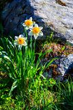 White narcissus growing wild on the hillside Stock Photos