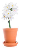 White Narcissus In A Terracotta Flower Pot Royalty Free Stock Photo