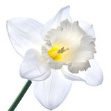 White narcissus isolated on white Stock Image