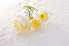 Narcissus in the snow Royalty Free Stock Images