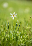 White narcissus. On a meadow Stock Photography
