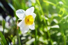 White narcissus Narcissus poeticus in the green grass in the garden. Beautiful wild fragrant Narcissus flowers Narcissus tazetta, bunch-flowered narcissus royalty free stock images