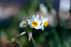 White Narcissus. Royalty Free Stock Image