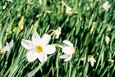 White narcissus in a spring garden, blue filter. White narcissus in a spring garden. Seasonal natural scene. Blue photo filter Royalty Free Stock Photo