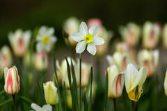 White narcissus Stock Images