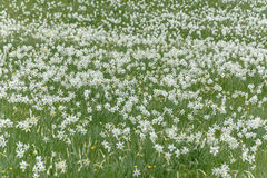 White Narcissus Wild Flower Field Royalty Free Stock Photo