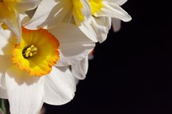 White narcissus with yellow center on dark background. Photo of spring flowers. Macro shooting royalty free stock image