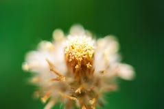 White narrowleaf zinnia or classic zinnia flower Stock Photography