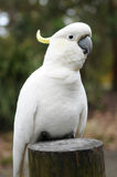White native Australian cockatoo on a wooden stump Stock Image