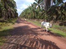 White native cow