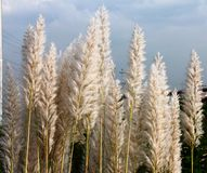 White natural feather like plant Royalty Free Stock Photo