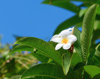 White natural frangipani Royalty Free Stock Image