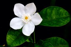 white nature flower Royalty Free Stock Photography