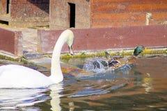 Swan swimming in a reservoir. White nature swan water bird natural duck wild animal beautiful stock image