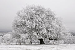 White nature tree Royalty Free Stock Photo