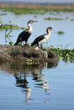 White-necked Cormorants Stock Image