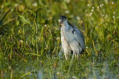 White-necked heron Royalty Free Stock Photos