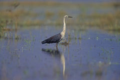 White-necked heron, Ardea pacifica Stock Photos