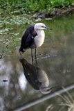 White-Necked Heron (Ardea Pacifica) Royalty Free Stock Photography