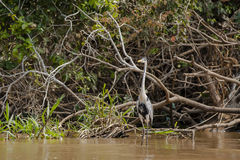 White-Necked Heron Standing in River with Neck Stretched Stock Images