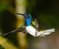 White-necked Jacobin. Display hover Ecuador Royalty Free Stock Images