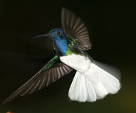 White-necked Jacobin. Display hover Ecuador royalty free stock photos