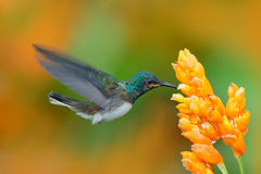 White-necked Jacobin, Florisuga mellivora, blue and white little bird hummingbird flying next to beautiful yellow flower with gree stock photo