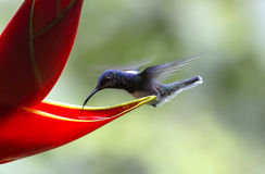 White-necked Jacobin Hummingbird, Florisuga mellivora royalty free stock photography