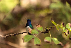 White necked Jacobin known as Florisuga mellivora. In a tree royalty free stock images