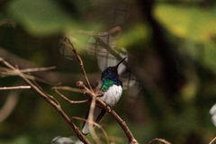 White necked Jacobin known as Florisuga mellivora. In a tree royalty free stock photography