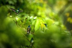 White-necked jacobin sitting on branch in rain, hummingbird from tropical rain forest,Colombia,bird perching,tiny beautiful bird r stock image