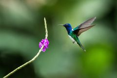 White-necked jocobin hovering next to violet flower, bird in flight, tropical forest, Brazil, natural habitat. Beautiful hummingbird sucking nectar, colorful royalty free stock photos