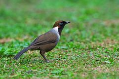 White-necked Laughingthrush Royalty Free Stock Images