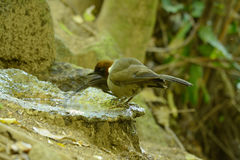 White-necked laughingthrush Royalty Free Stock Photography