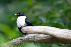 White-necked myna Royalty Free Stock Photos