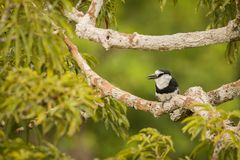 White-necked puffbird Notharchus Hyperrhynchus Stock Photo