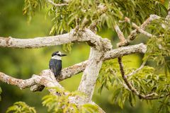 White-necked puffbird Notharchus Hyperrhynchus Stock Image