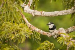 White-necked puffbird Notharchus Hyperrhynchus Royalty Free Stock Photo