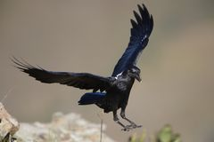 White-necked Raven Royalty Free Stock Photos