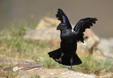 White-necked Raven Royalty Free Stock Photo