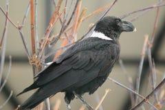 White-necked raven Royalty Free Stock Image
