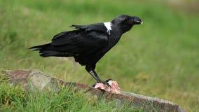 White-necked raven feeding stock video footage
