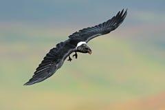 White-necked raven in flight Stock Photos