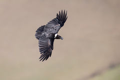 White necked raven gliding is a strong wind on top of maointain Royalty Free Stock Photos