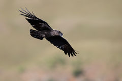 White necked raven gliding is a strong wind on top of maointain Stock Photos