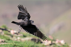 White necked raven gliding is a strong wind on top of maointain Royalty Free Stock Photo