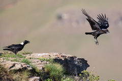 White necked raven gliding is a strong wind on top of maointain Royalty Free Stock Images