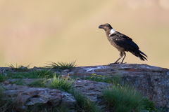 White necked raven perching on a rock on top of a mountain Royalty Free Stock Photos