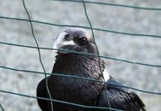 White-necked raven Stock Photos