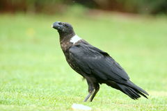 White-necked Raven. We saw this bird at a resort in the Drakensberg. Very interesting bill Stock Photo